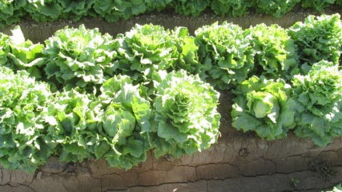 "Lettuce showing ""Christmas tree"" seeder"